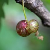 170822 Neuroterus quercusbaccarum Oak Currant gall (2)